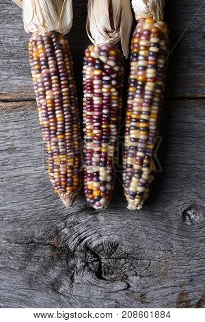 High angle shot of a three flint corn cobs. Also known as Indian Corn, Calico Corn and Ornamental Corn.