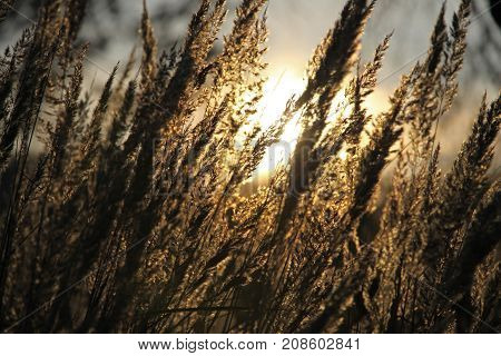 Wild Meadow Of Dry Herb Grass On Sunset, Soft Sun Rays