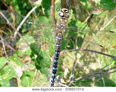 close up of blue hawker dragonfly resting