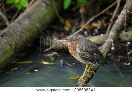 Close-up view of baby Green Heron resting on a log in a swamp setting with murky water below.
