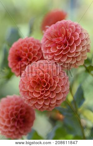 Beautiful Pastel Colored Dahlias in Garden with Selective Focus