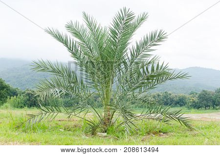 Young date palm tree in Northern of Thailand
