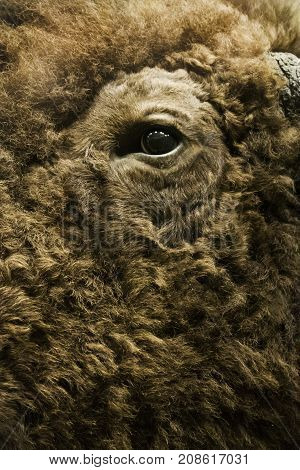 Washington, DC - September 9, 2014 - Vertical close up of the eye and thick fur of a large buffalo displayed at the Smithsonian National Museum of Natural History