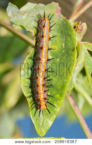 Large orange and gray Gulf Fritillary butterfly caterpillar on a Passionflower leaf