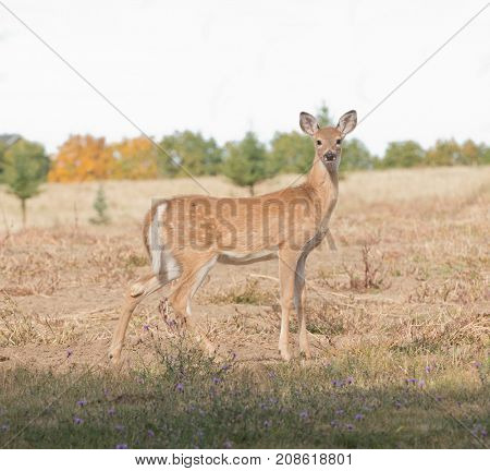 Closeup of a Whitetail fawn that has lost its spots acquiring a winter coat
