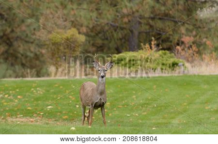 Whitetail buck on the lawn