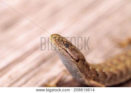 Southern Alligator Lizard Elgaria Multicarinata