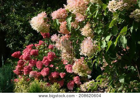 Bushes of a hydrangea paniculata during flowering are a garden ornament.