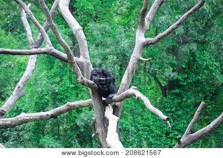close up on Chimpanzee on the tree branch
