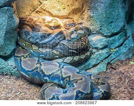 Group of adult Royal Pythons, or Ball Pythons Python regius