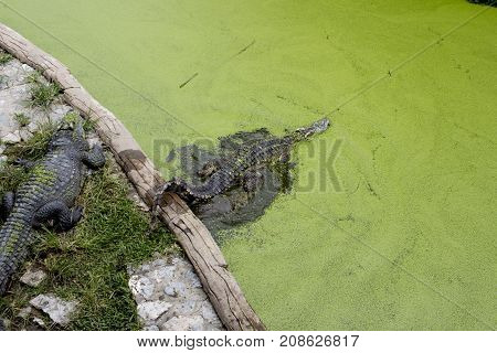 The crocodile in pond is swimming, hunter