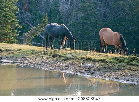 Liver Chestnut Bay Roan Stallion and Dun mare grazing next to waterhole in the Pryor Mountains Wild Horse Range in Montana United States