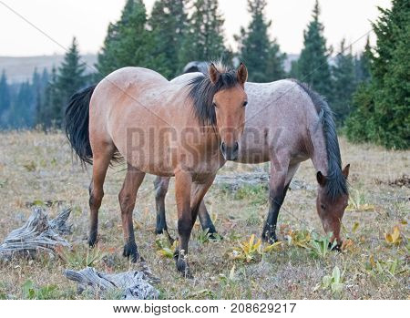 Dun Buckskin and Red Roan wild horse mares next to dead wood in the Pryor Mountains Wild Horse Range in Montana United States