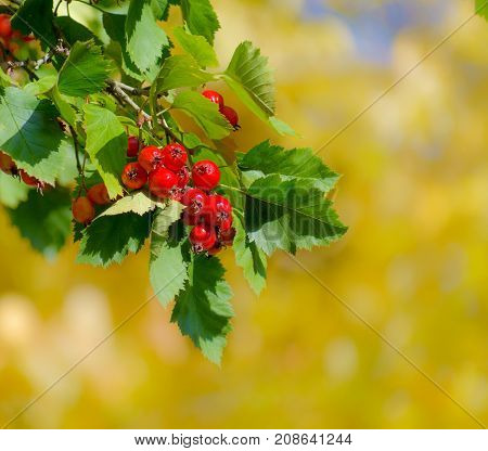 Red Berries Of Hawthorn On Yellow Autumn Background