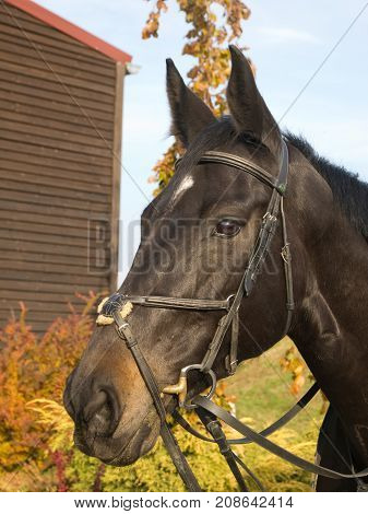 Portrait of sport horse with bridle in autumn