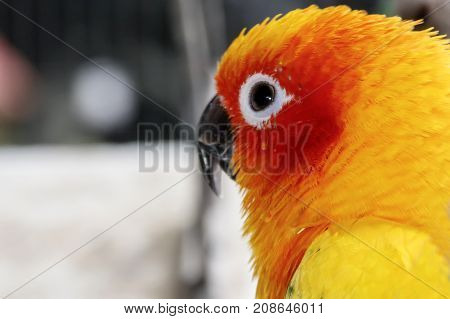 Head of the sun conure parrot close-up wallpaper
