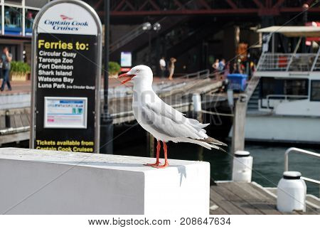 Sydney Australia - December 201 2015: Seagull pictured near Captain Cook Cruises dock at Darling Harbour with the ferry in the background ready for tourist entrance.