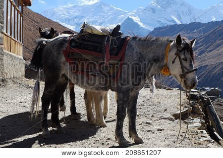 The Nepal mountain horse is high in the mountains under the saddle and in the bridle.