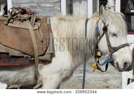 White Nepalese mountain horse saddled and in a bridle.