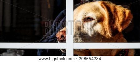 A Yellow Labrador looking out the window keeping a watchful eye.