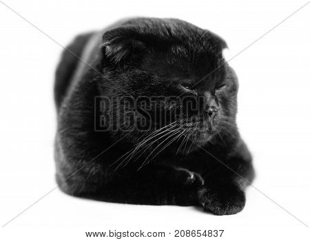 Close-up Sleeping Serious Black Cat With Yellow Eyes In Dark. Face Black Scottish Fold Cat With Gold