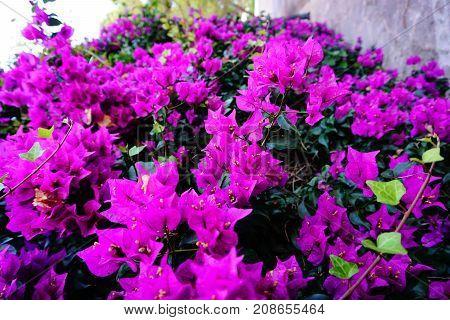 Ultraviolet Very purple flowers blossom in spain
