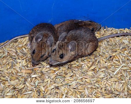 House mouse and oats , (Mus musculus)