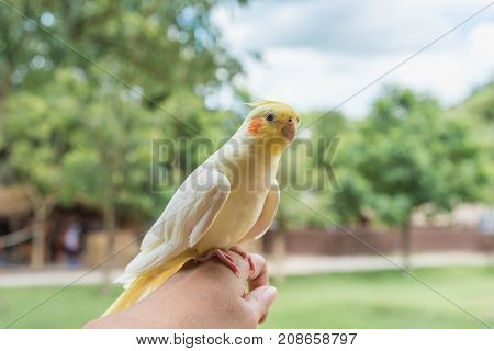 Cockatoo yellow on female hand behind natural background.