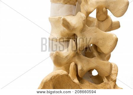Lumbar Spine Model Isolated On White Background