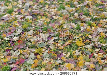 Colorful autumn leaves on the grass in the park