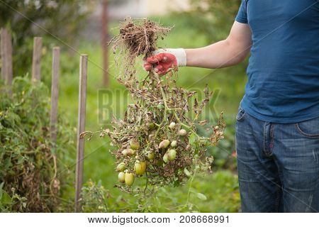 Closeup hands in gloves disroot infected tomato plant Tomatoes get sick by late blight In Vegetable Garden. Disease of tomato late blight. Fighting Phytophthora.