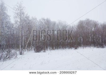 Birch trees covered with frost. Winter landscape