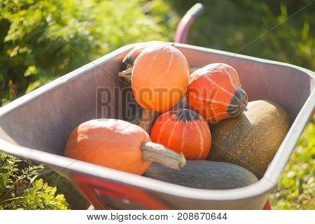 Autumn harvest: organic pumpkins and squashes at the wheelbarrow.