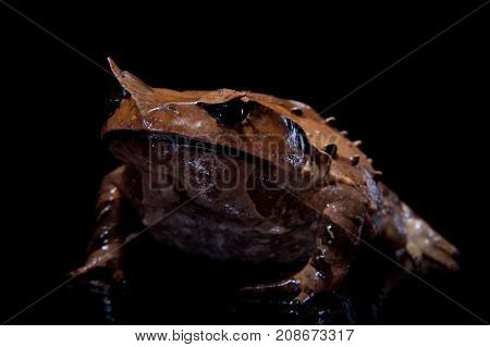 Annam spadefoot toad isolated on black background