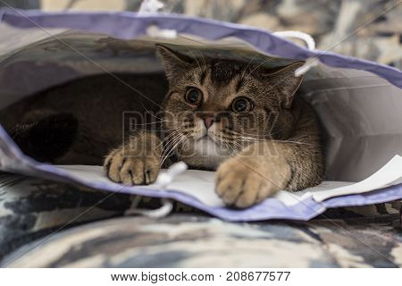 Cute fluffy cat British golden chinchilla ticked playfully hid in gift paper bag.