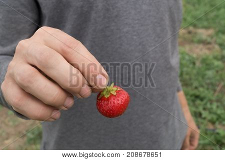 Man's hand holds strawberry on gray background