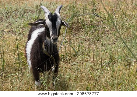 Black and white goat grazes on the meadow