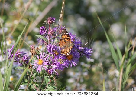 Painted Lady Butterfly ( Vanessa cardui ) on New England Aster at the end of the summer season.