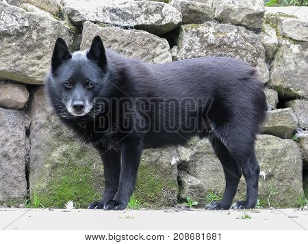 Old Schipperke dog standing side on facing forward looking at camera. Standing in front of drystone wall. Adorable fluffy black bear like dog.