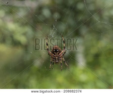 Closeup of underside of orb spider spinning web