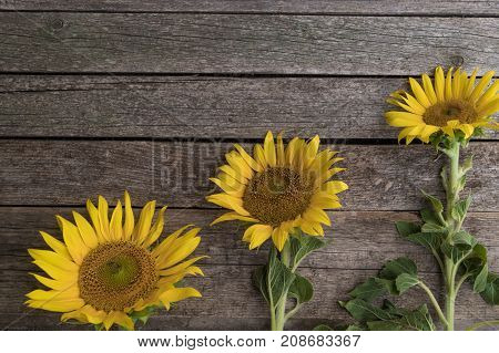 Three sunflowers are arranged in ascending order on the old wooden background. Growth and development concept.