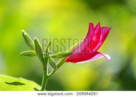 The bud of a Bauhinia purpurea flower.