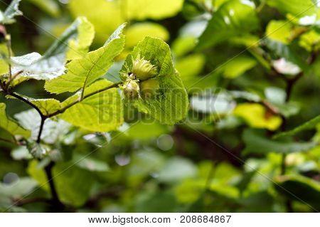 thickets of hazelnut shrub hazel hazelnut filbert