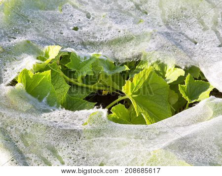 Plastic mulch and cucumber leaves, copy space