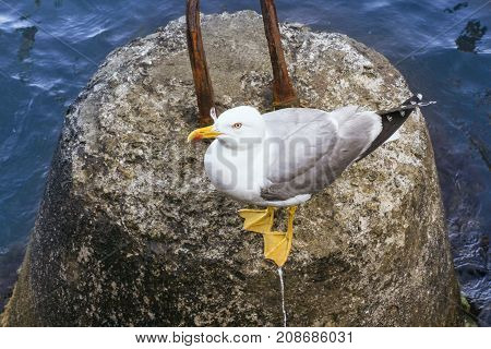 A sea gull on a rock. Birds living next to man.