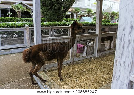 Yalta, Crimea - 11 July, Alpaca in the aviary, 11 July, 2017. Zoo and animals on the territory of the hotel Yalta Intourist.