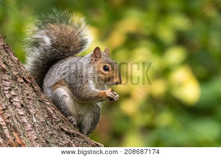 Eastern gray squirrel (Sciurus carolinensis) eating on tree trunk. Rodent in the family Sciuridae eating biscuit sitting on conifer