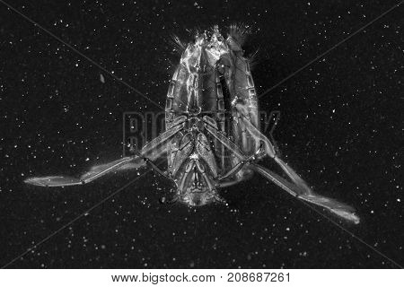 Common backswimmer (Notonecta glauca) mating. Pair of predatory aquatic true bugs in the family Notonectidae also known as water boatmen in cop
