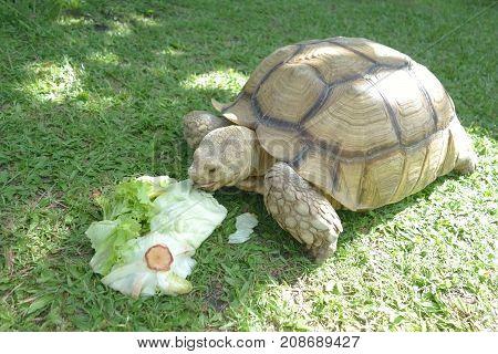Giant Tortoise eating Green Vegetable Background on Grass