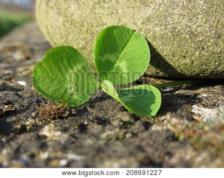 St. Patrick's Day background with clover or shamrock by a river stone